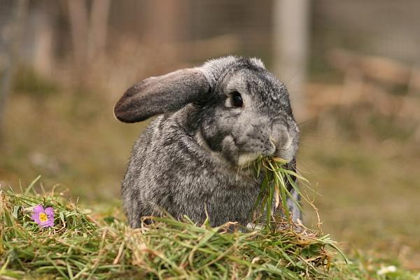 kaninchen ern hrung infoseite zur gesunden kaninchenf tterung. Black Bedroom Furniture Sets. Home Design Ideas